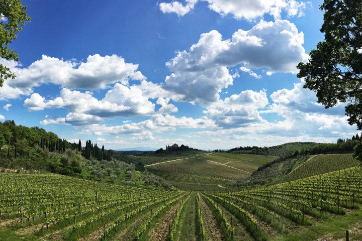 Gondozott szőlő Chiantiban.